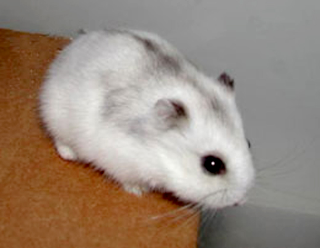 Winter White Russian Dwarf Hamster - Pics about space