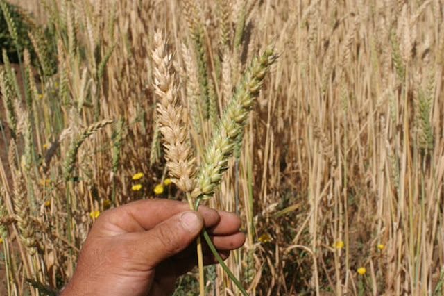 """La sequía retrasa la siembra de trigo y una """"Niña"""" débil condiciona la próxima cosecha gruesa."""