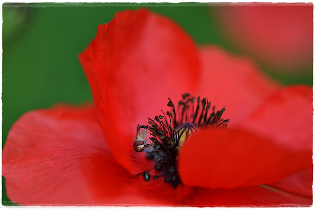 Coquelicot fleur sauvage