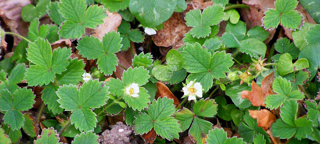 Barren Strawberry Potentilla sterilis.  Indre et Loire, France. Photographed by Susan Walter. Tour the Loire Valley with a classic car and a private guide.