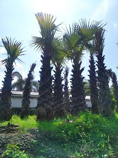 Jual tanaman Pohon besar siap kirim ke seluruh Indonesia