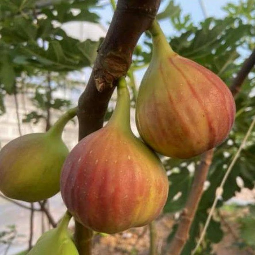 Bibit buah tin merah jumbo Khurtmani jenis tin produktif buah besar dan manis Banjarmasin