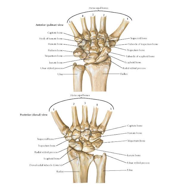 Carpal Bones Anatomy
