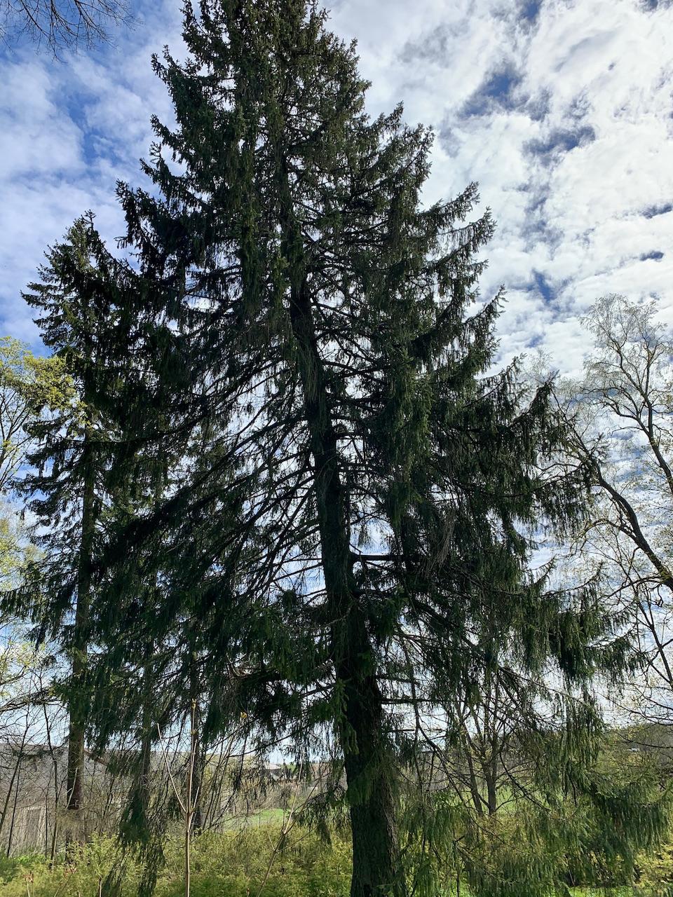 Senas medis Šumsko dvaro parke