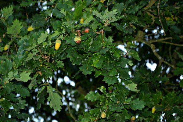 Acorns on the tree in Autumn
