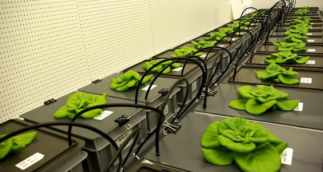 "Wolff found that the plants can ""smell"" or detect how much nutrition is available when she ran experiments in climate-regulated growth chambers in the Netherlands. Credit: Silje Wolff, NTNU Social Research (CIRiS)"