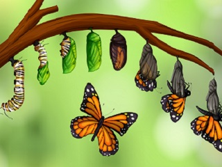 metamorphosis - from caterpillar to a butterfly