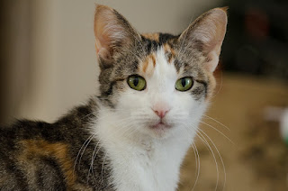 Fact About Calico Cats With Colors and Personality