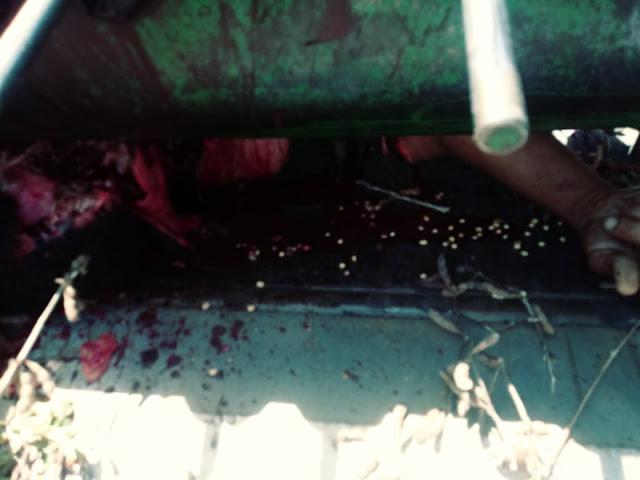 Esmagado vivo! Morador de Espigão do Oeste morre esmagado por uma colheitadeira, no MT