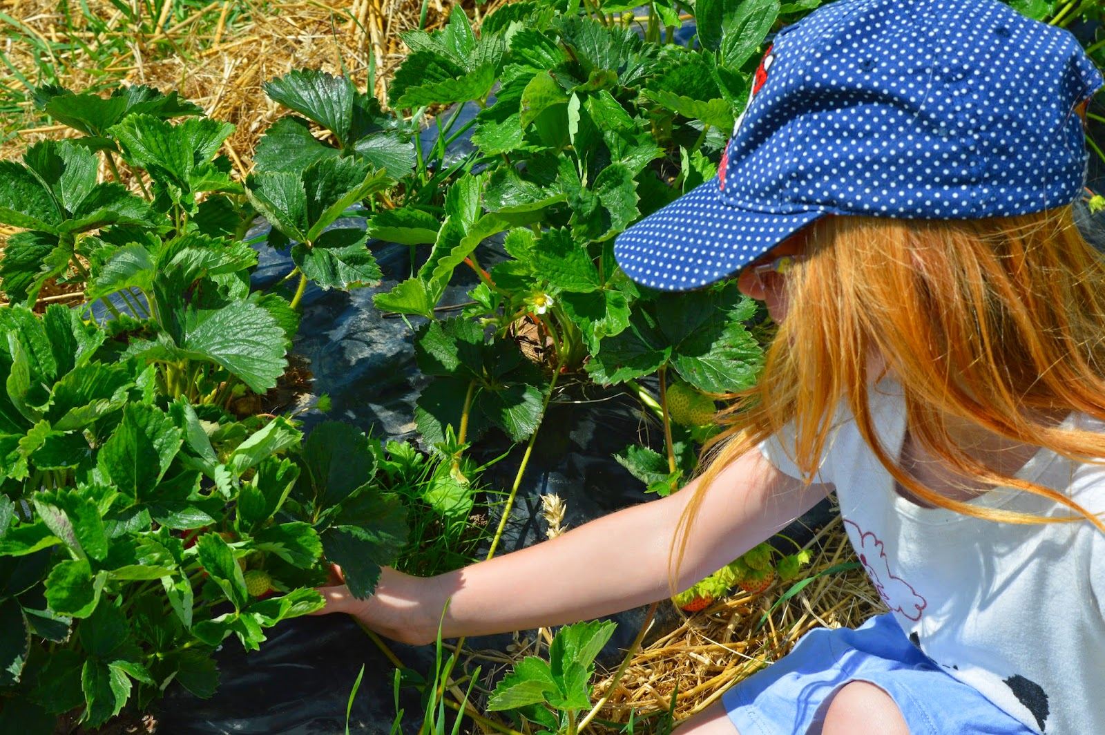 Pick your own strawberries at Brockbushes farm, Corbridge