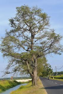 Ciri Ciri Pohon Walikukun