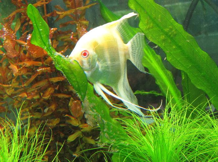 金魚快訊部落格Goldfish message blog: 藍斑馬神仙&紅眼金神仙生BB(Pterophyllum scalare var.)