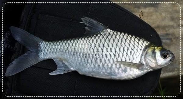 Memilih Supplier Bibit dan Konsumsi Ikan Tawas Terbaik di Yogyakarta