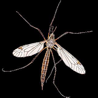 Crane Fly - Daddy Long Legs, General + Control