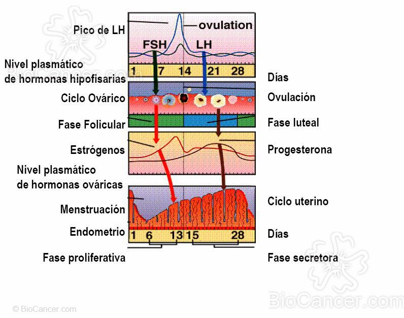 hormona+foliculo+estimulante+fsh+niveles+normales