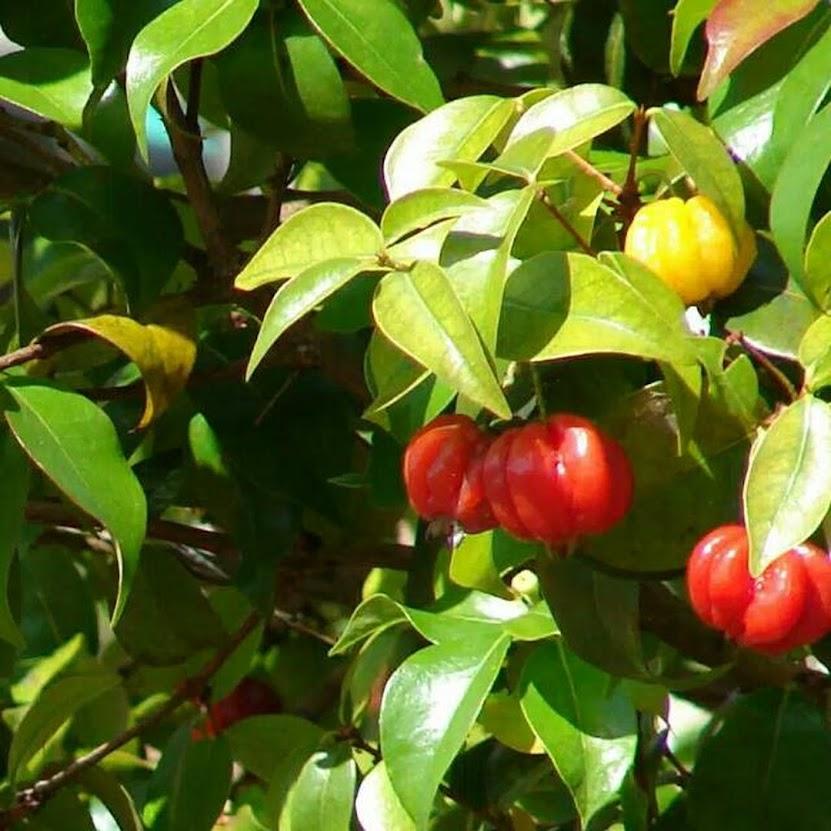 Bibit Tanaman Buah Cermai Merah Dewandaru Eugenia uniflora
