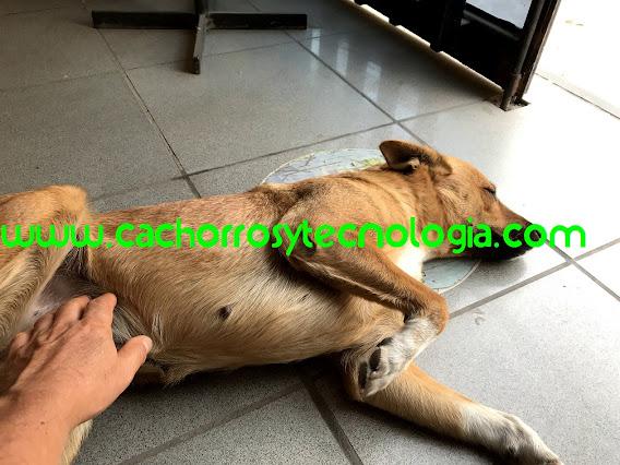 dog perro mayor dificultad caminar Dudu cachorros y tecnologia shurkonrad Convulsiones en perros Qué hago 2