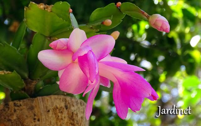 Eliminando as pragas na flor-de-maio