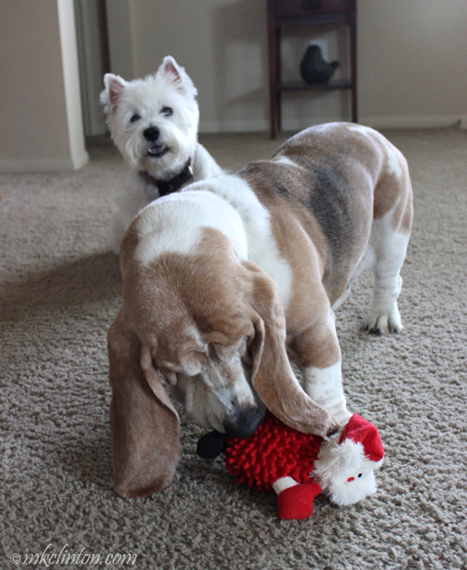 Basset Hound playing with stuffed Santa while Westie watches