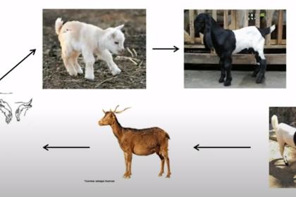 Daur Hidup Kambing Domba yang Perlu Diketahui