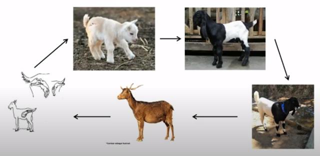 penjelasan gambar jenis siklus dan daur  hidup kambing