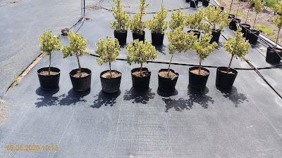 cây si Thái chậu C10 dạng tree lùn