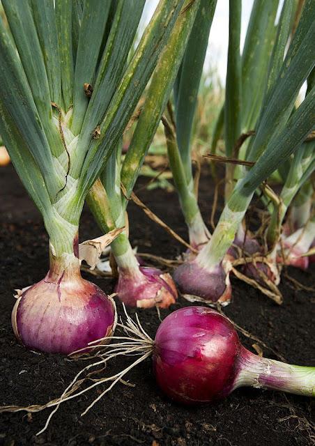 Hành tây - Allium cepa - Nguyên liệu làm thuốc Chữa Cảm Sốt