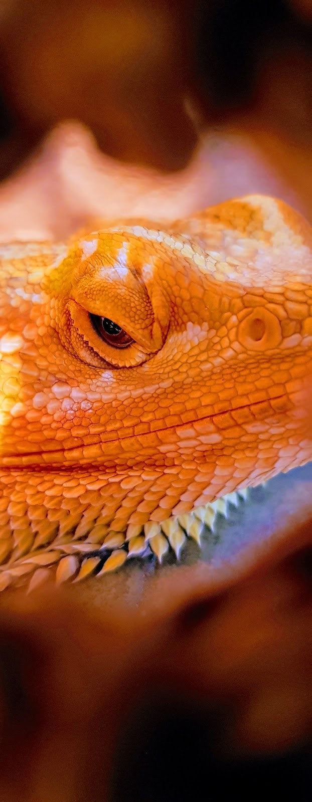 A menacing look of bearded dragon.