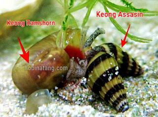 keong ramshorn untuk aquascape