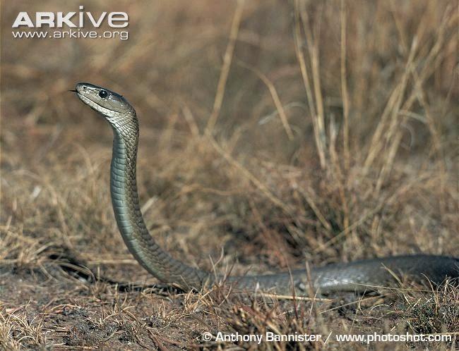 mamba negra, mambra preta, venomous snake, snake, áfrica, cobras, cobras venenosas, ataque de cobras,  Black-mamba, Dendroaspis polylepis, serpentes, cobra preta, serpente preta, animais, blog Natureza e Conservação