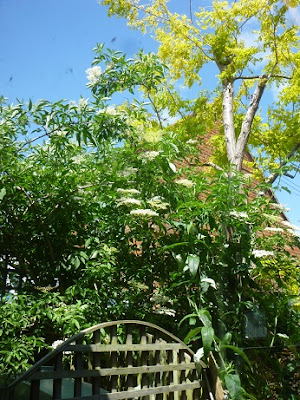 Picture of the elderflower tree above our oil tank