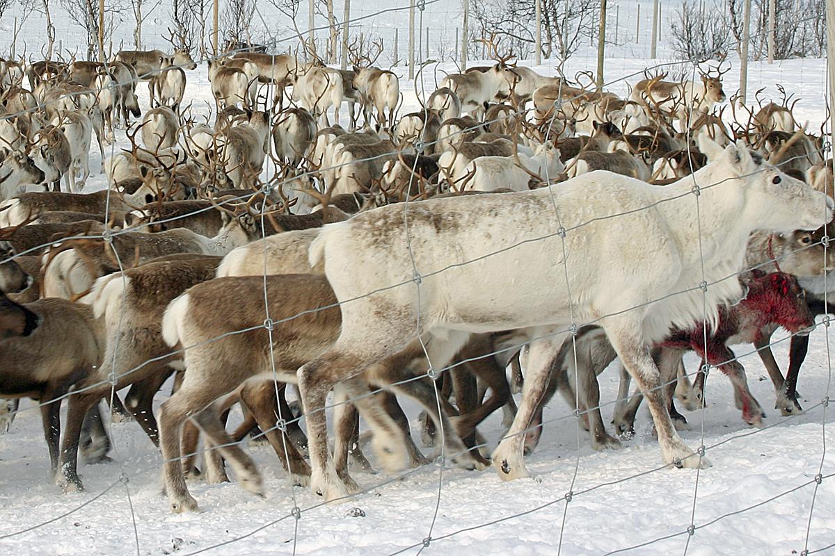 hvor mange rensdyr har julemanden