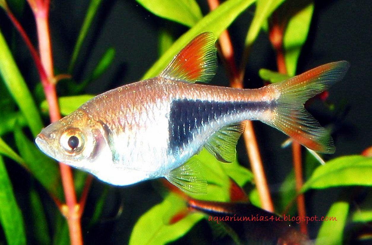 Rasbora - Jenis Jenis Ikan Hias Air Tawar Aquascape Paling Lengkap