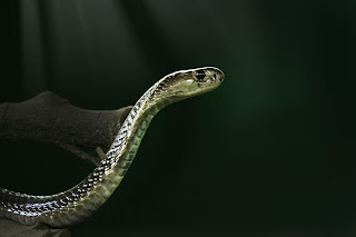 philippine cobra snake,top 10 most venomous snakes in the world