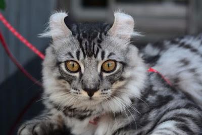 Penyakit Kucing American Curl