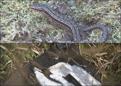 Common lizards found during the survey at Cleaver Heath