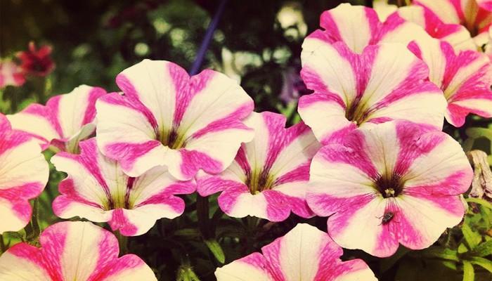 Flores de petunia cuidados