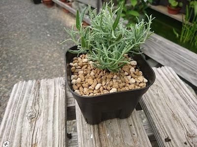 ラベンダー 鉢植え