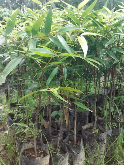 jual bibit tanaman kayu damar