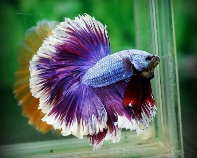 Image Pretty Betta Fish 1