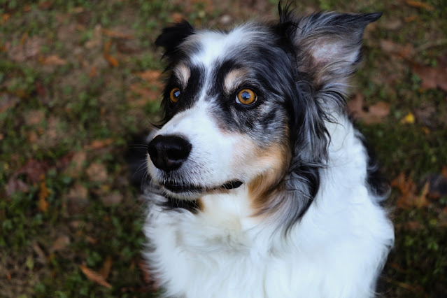 Photo of Zazie Todd's late dog Bodger, looking thoughtful. A white, black, and tan Australian Shepherd.