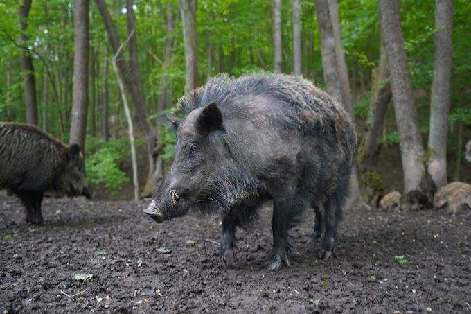Heboh Babi Ngepet Di Daerah Sawangan Depok