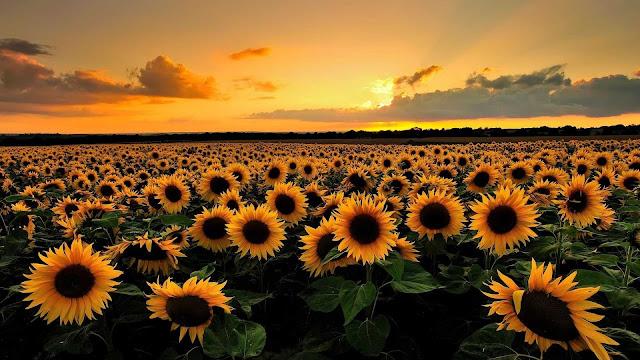 background sunflower wallpaper
