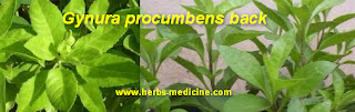 Diabetes use Procumbens Gynura