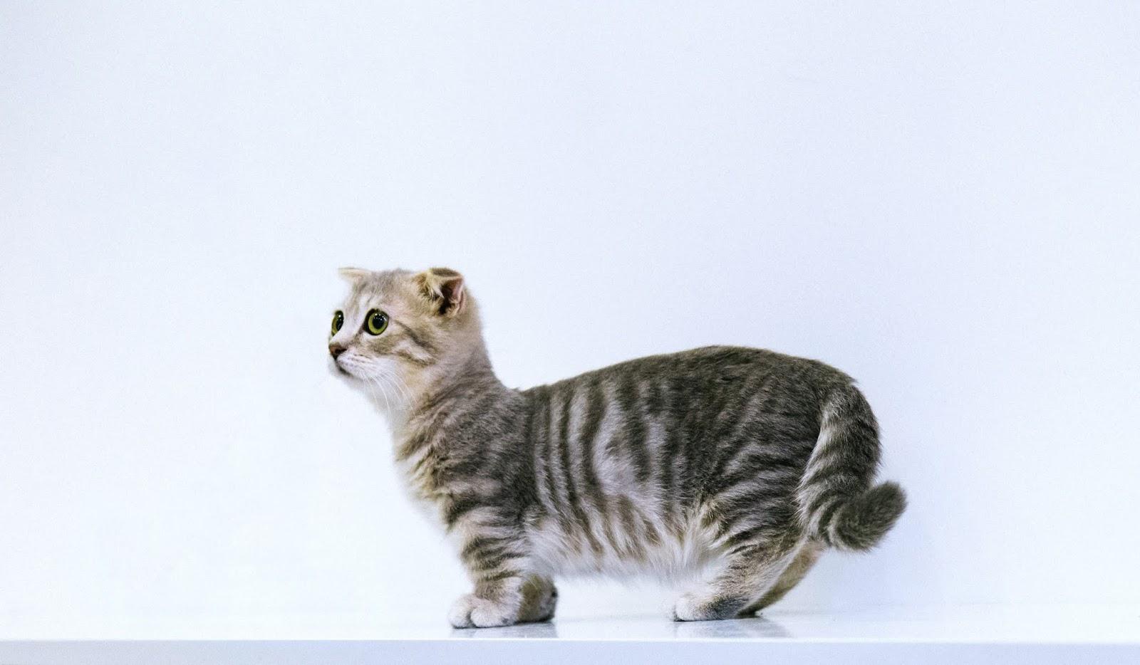 Short fur grey cat on the white floor,cat images