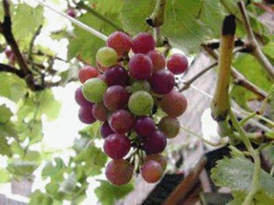 Uvas en Bolivia
