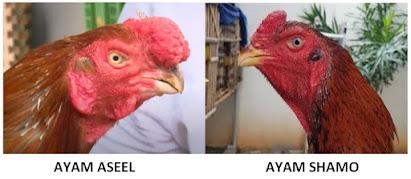 Bentuk kepala ayam aseel dan shamo ori