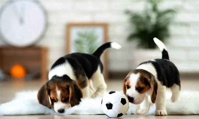 Beagle dog size and personality