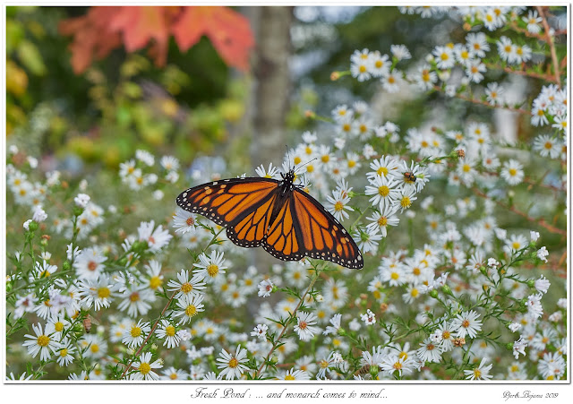 Fresh Pond: ... and monarch comes to mind...