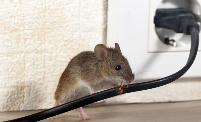 Tikus di kabel